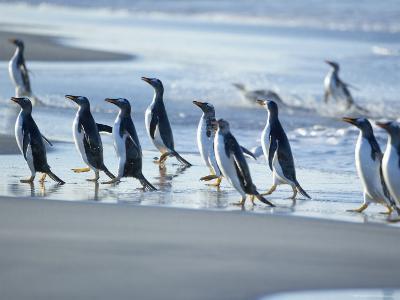 Gentoo Penguins Walking on the Beach, Sea Lion Island, Falkland Islands, South America