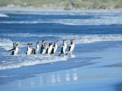 Gentoo Penguins Coming out of the Sea, Sea Lion Island, Falkland Islands, South America