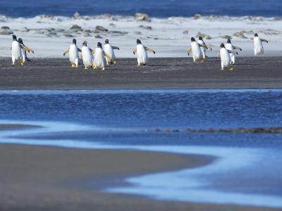 Gentoo Penguins (Pygocelis Papua Papua) Walking, Sea Lion Island, Falkland Islands, South Atlantic