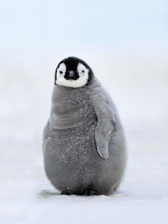 Emperor Penguin Chick, Aptenodytes Forsteri, Antarctica
