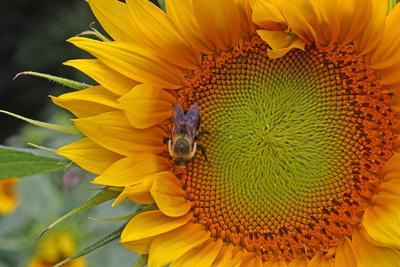 A Bee on a Sunflower