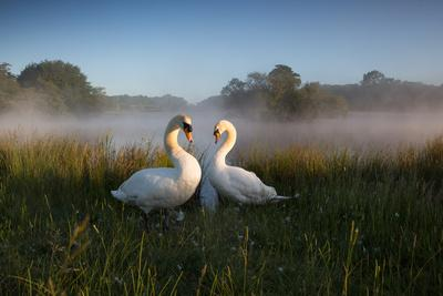 A Pair of Mute Swans, Cygnus Olor, Emerge from the Water on a Misty Morning in Richmond Park