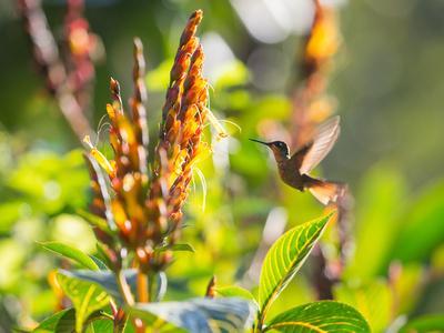 Brazilian Ruby Hummingbird, Clytolaema Rubricauda, Mid Flight Feeding from a Flower