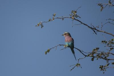 A Lilac Breasted Roller Perched in a Tree