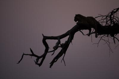A Silhouetted Leopard Resting in a Tree