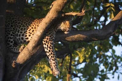 A Female Leopard Resting in a Tree