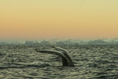The Flukes of a Whale Swimming in Waters Off Lofoten Archipelago