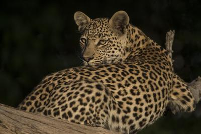 A Female Leopard Resting in a Tree