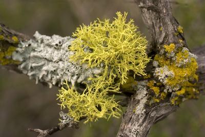 Staghorn Lichen, Letheria Vulpina, Grows in Pinnacles National Park