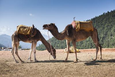 Camels on the Side of a Road in Morocco