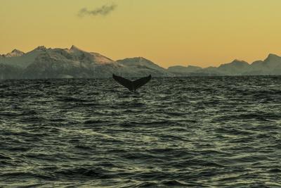 The Flukes of a Whale Off Lofoten Archipelago