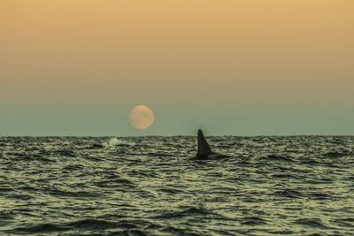 An Orca Swims in Waters Off Lofoten Archipelago