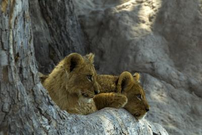 Two Lion Cubs Resting on Exposed Tree Roots