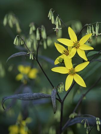 Close Up of Yellow Mountain Wildflowers