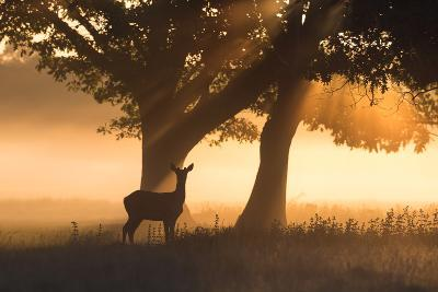 A Red Deer, Cervus Elaphus, in the Early Morning Mists of Richmond Park