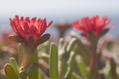Ice Plants in Bloom on Anacapa Island in Channel Islands National Park