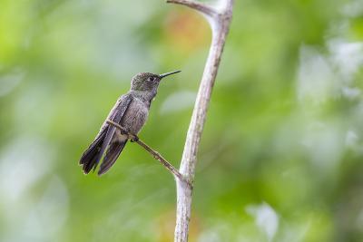 A Sombre Hummingbird Rests on a Branch in Ubatuba, Brazil