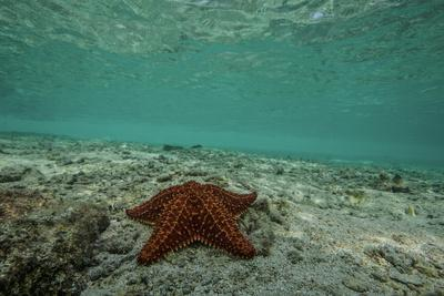 Sea Star in the Shallow Waters Off the Mosquitia Reef