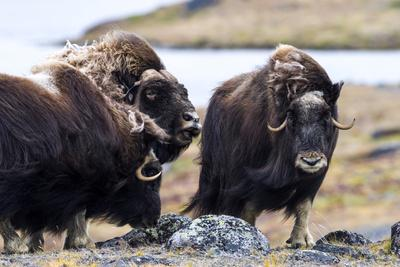 A Male Musk Ox Scenting a Female to See If She Is in Oestrus for Mating