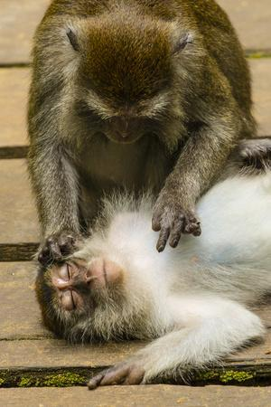 Long-Tailed or Crab-Eating Macaques, Macaca Fascicularis, Grooming