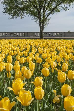 Spring Planting of Tulips at the Memorial Bridge
