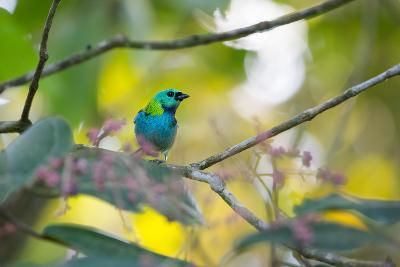 A Green-Headed Tanager Sitting on a Branch with Berries