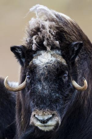 A Musk Ox Staring at the Camera with Sharp Pointed Horns
