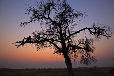 A Leopard Sitting in a Tree at Sunset
