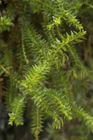 A Spiky Green Crassula Plant