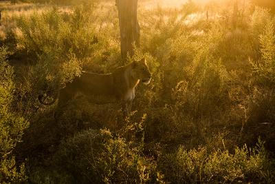 A Lioness in Warm Sunlight