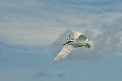 A Tern Flies in the Gracias a Dios Province, Honduras