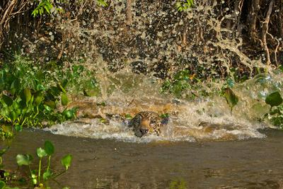 A Jaguar Leaps into Cuiaba River in the Brazilian Pantanal