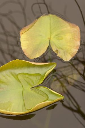 Lily Pads on the Surface of a Small Lake in Grand Teton National Park