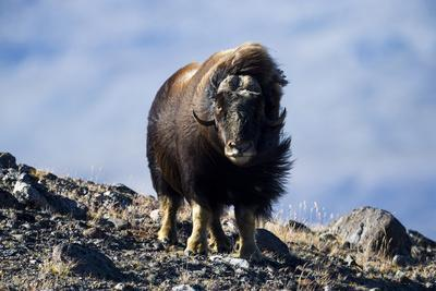 Strong Arctic Winds Billowing the Long Shaggy Coat of a Musk Ox Standing on a Tundra Hilltop