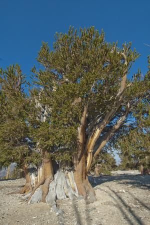 Great Basin Bristlecone Pines, Pinus Longaeva, Among World's Oldest Living Trees, Patriarch Grove