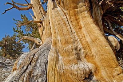 Great Basin Bristlecone Pines, Pinus Longaeva, Among World's Oldest Living Trees, Patriarch Grove