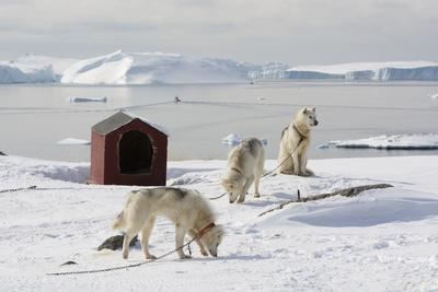 Greenland Dogs, a Breed of Husky, with Disko Bay in the Background