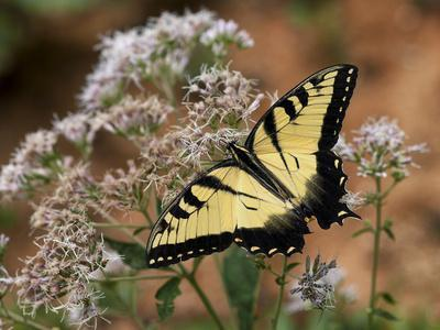 Close Up Portrait of an Eastern Tiger Swallowtail Butterfly on a Wildflower