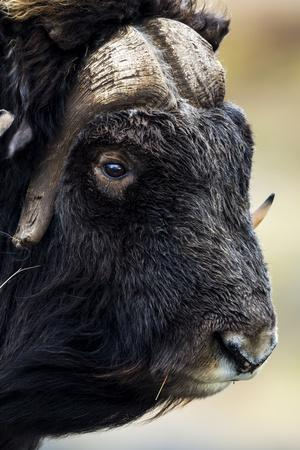 The Enormous Horned Head and Intense Stare of a Cautious Musk Ox