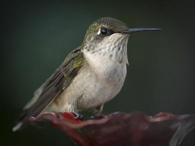 Close Up Portrait of a Female Ruby Throated Hummingbird Resting on a Feeder