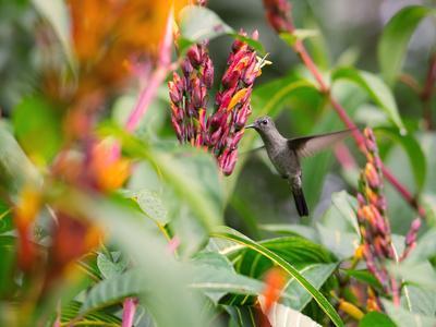 A Sombre Hummingbird, Aphantochroa Cirrochloris, Mid Flight Feeding from a Flower