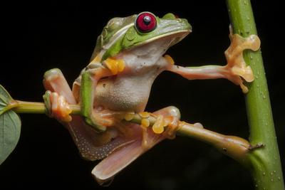 Portrait of Gliding Tree Frogs, Agalychnis Spurrelli, Mating
