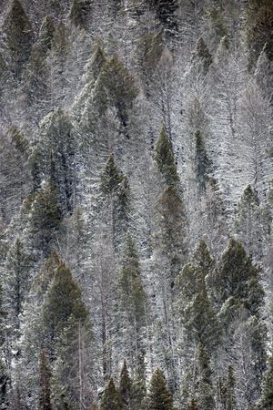 A Patchwork Landscape of Evergreen Trees with and Without Snow