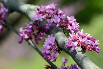 Close Up of the Cauliflorous Flowers of an Afghan Redbud Tree, Cercis Griffithii