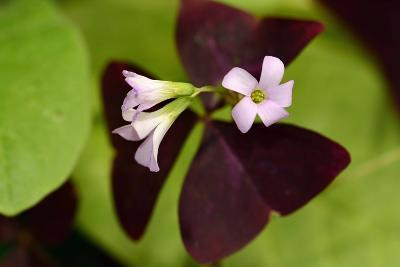 Close Up of a Purple Oxalis Plant in Bloom