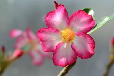 Close Up of a Desert Rose Flower, Adenium Obesum