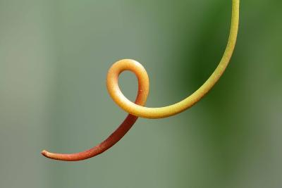 Close Up of a Vine Tendril