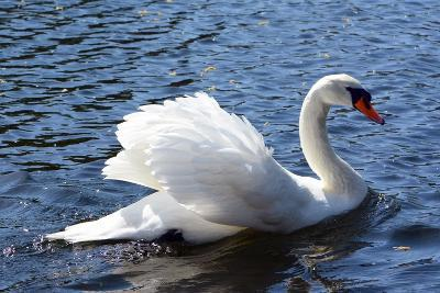A Mute Swan, Cygnus Olor, Swims in a Pond in the Public Garden
