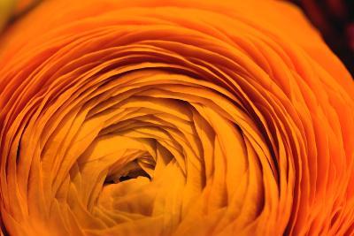 Close Up of an Orange Ranunculus Flower