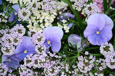 Blue Pansies Growing Among Other Delicate Small Flowers